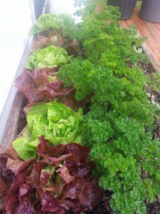 Priceless moments organic lettuce