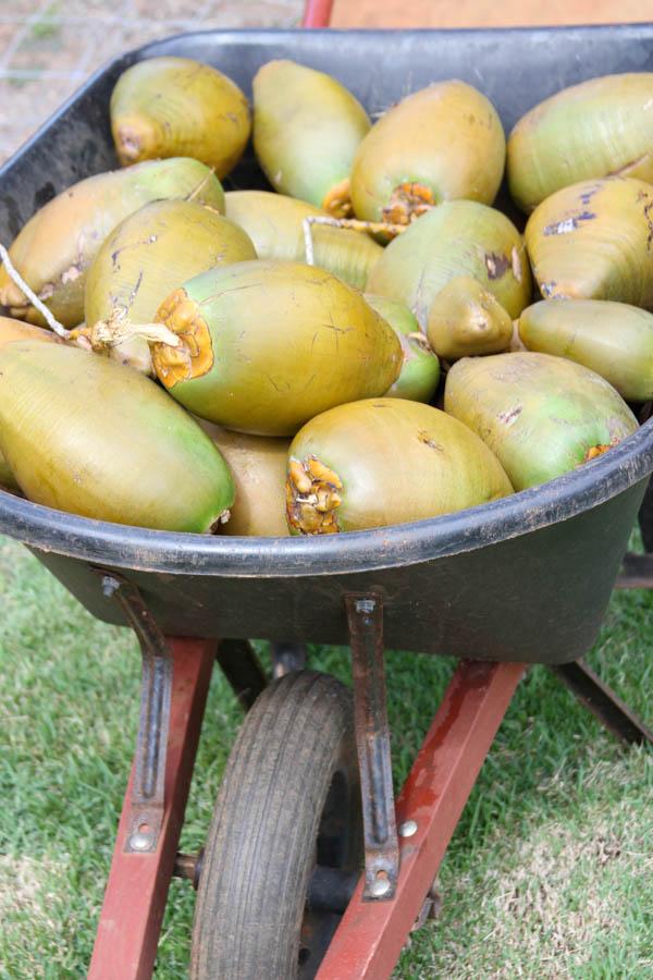 coconuts!  www.thegrommom.com