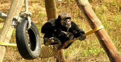 Chimpanzee at MONA a chimp sanctuary in Girona, Spain