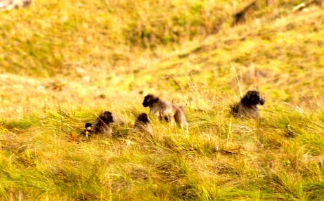 baboons in the Drakensberg in South Africa