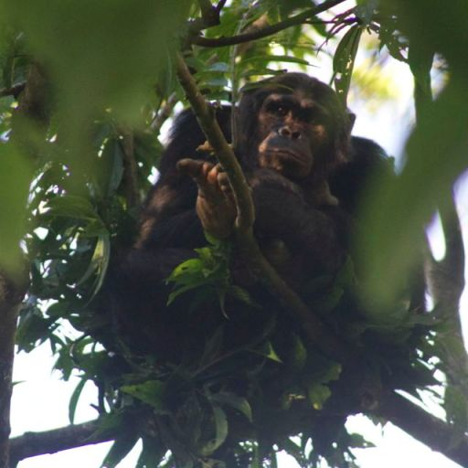 chimp in Nyungwe Forest, Rwanda