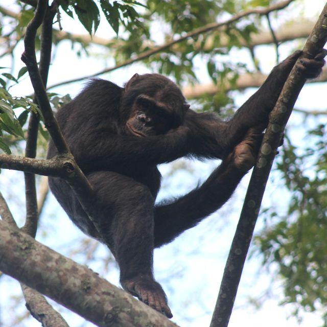 chimp resting in Nyungwe Forest in Rwanda.