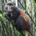 Golden Monkeys:  A Glimpse at one of Africa's Rarest Primates