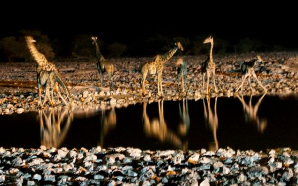 Giraffes at Okaukuejo water hole in Etosha National Park, Namibia