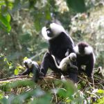 Baby Colobus Monkeys in Nyungwe Forest Rwanda