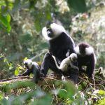 Baby Colobus Monkeys in Nyungwe Forest Rwanda