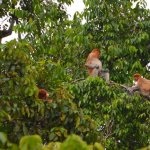The Redheaded Primates of the Lower Kinabatangan