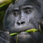 Sixty minutes of Solitude with Uganda's Mountain Gorillas