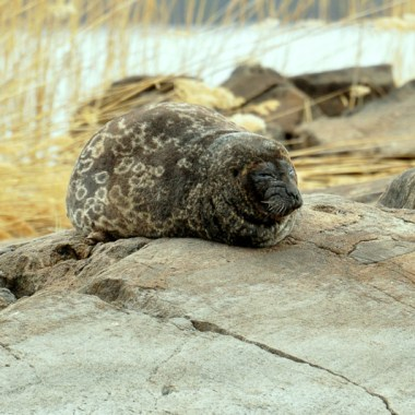 The Saimaa ringed seal is only found in Lake Saimaa in Savonlinna, Finland