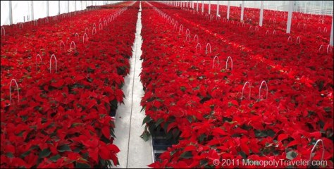 Look at All the Poinsettias I Get to Play With
