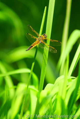 Dragonfly clinging to a blade of grass