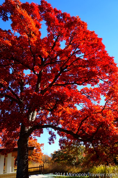 A Red Oak at Peak Color