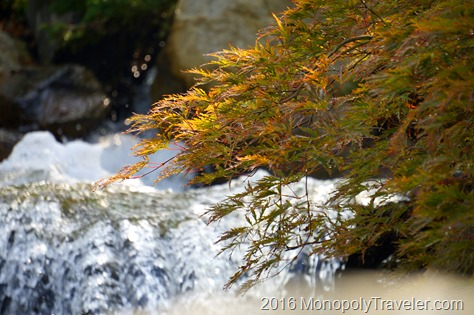A Japanese Maple hanging over a waterfall