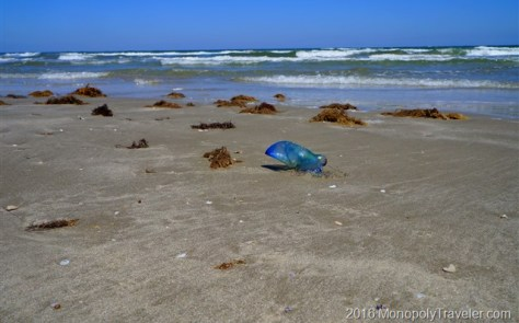 Portugese Man O War stranded on the beach