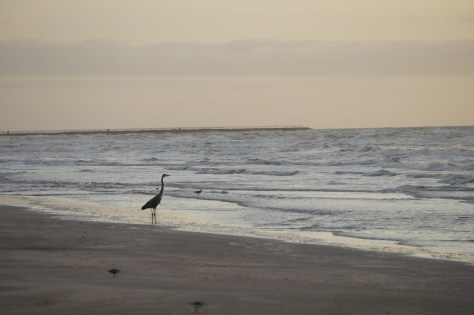 A Blue Heron taking in the sun rising over the ocean