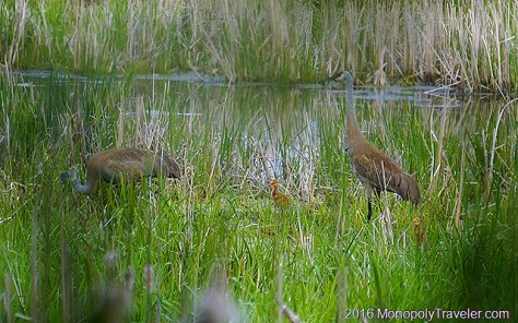 Sandhill Cranes protecting and teaching their young