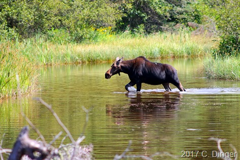 Getting up close to a moose can be very exciting if done safely for the animal and the viewer.
