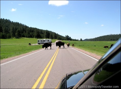 A Buffalo Crossing