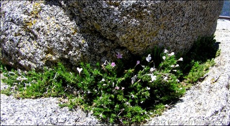Phlox Creeping Out From a Boulder