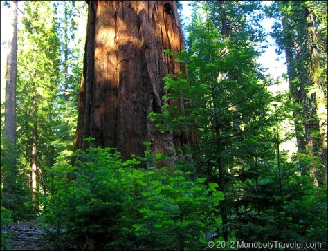 Young Sequoias With Old