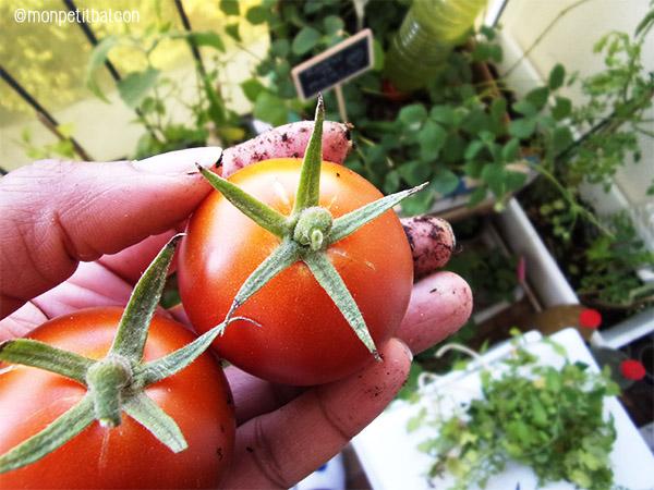 récolte tomate noir de crimée sur mon potager sur balcon