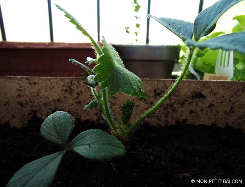 carré de fraise planter en cagette dans un potager sur balcon