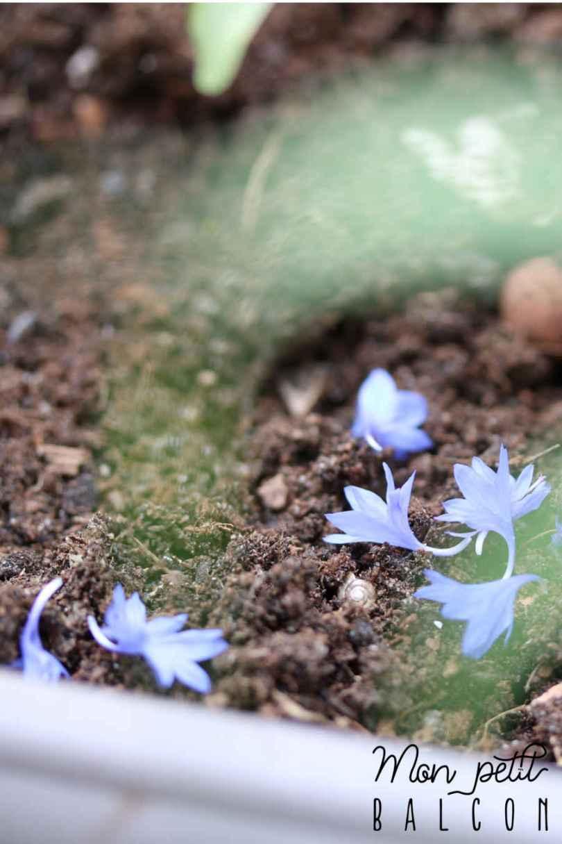 pétales de bleuet et fleurs comestibles sur un balcon | Mon petit balcon