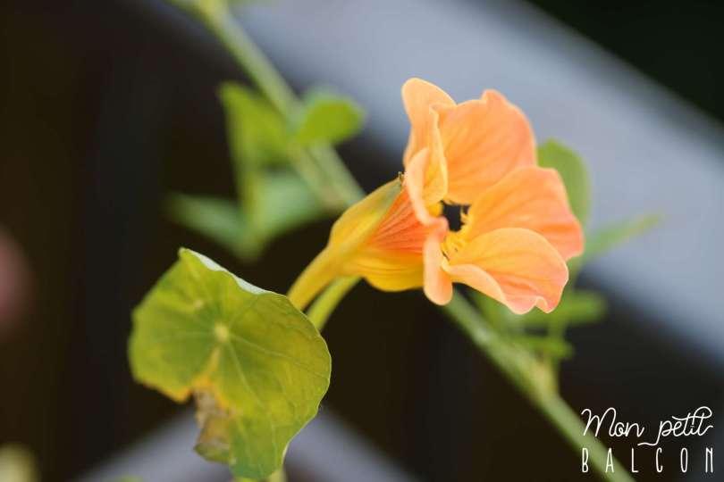 fleurs comestibles de capucines au potager sur balcon | Mon petit balcon