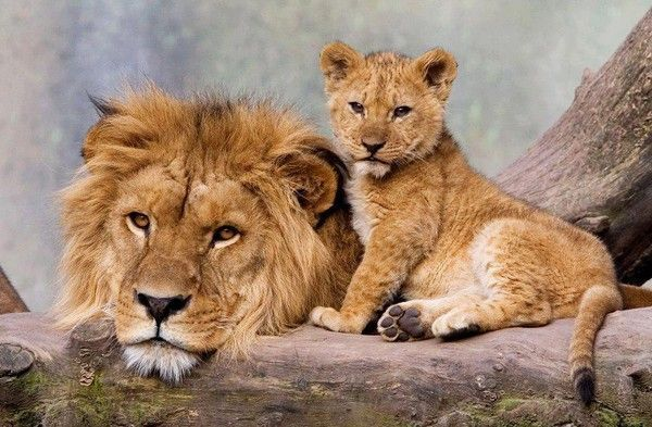 Cute Lion Cubs Hd Wallpapers Flash Lions