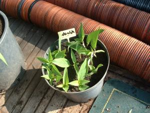 Salvia Elegans shoots