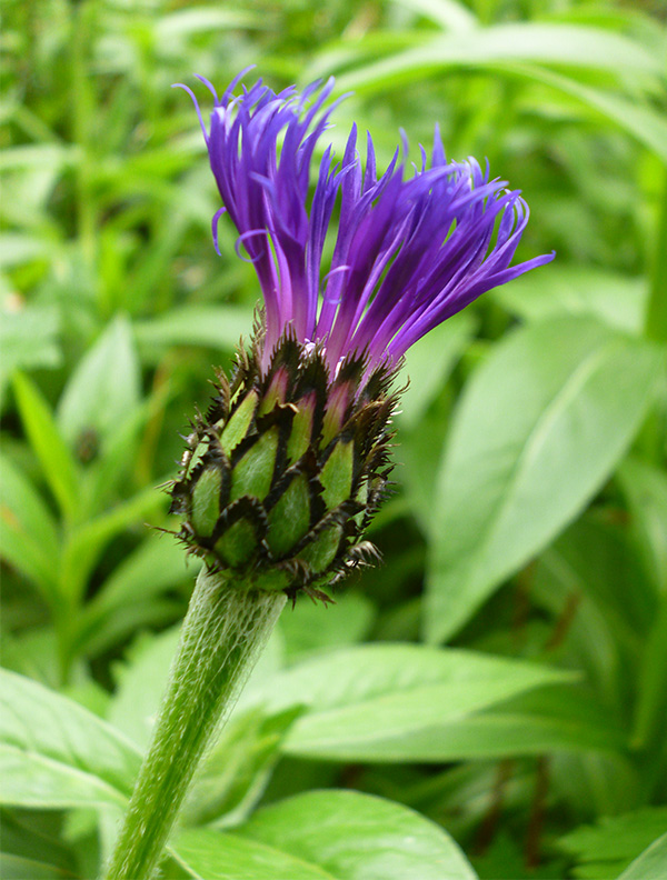 Blue Flower Bulbs Centaurea Montana