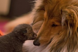 orphaned-fox-cub-adopted-dog-ziva-dinozzo-germany-4