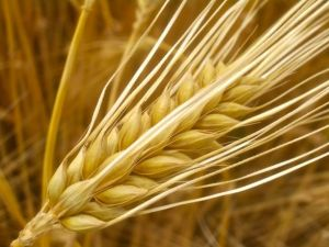"Barley has more genes than humans. Credit: Alexander von Halem Cool fact discovered by searching for ""barley"" images on Google"