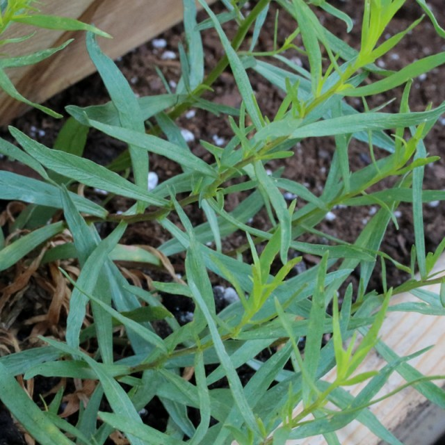 French Tarragon — Simple, Savory Herb Goodness