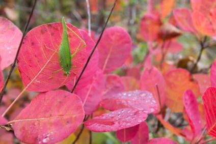 Contraste fort entre ces feuilles d'arbre à perruque et cette jeune sauterelle verte