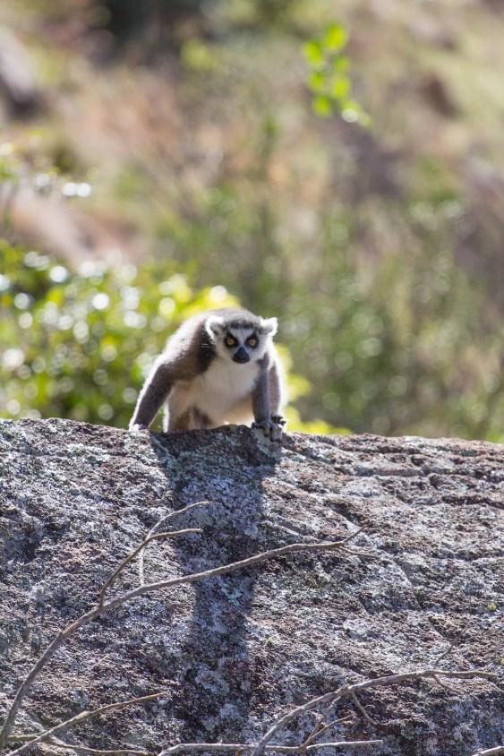Un maki catta un peu curieux semble intrigué en nous observant