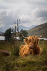 Vache écossaise de race Highland