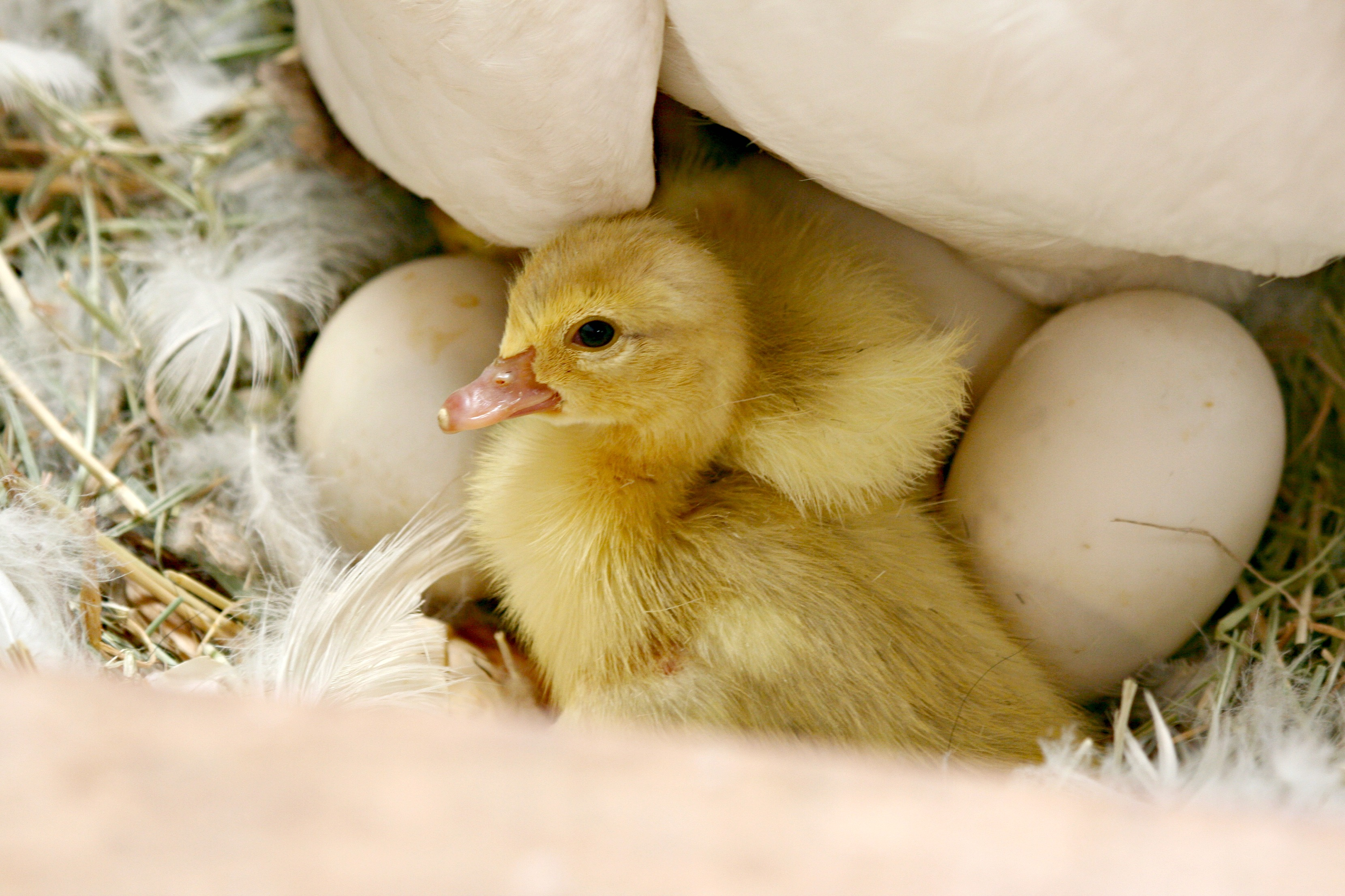 Cute Duck Hd Wallpaper Baby Ducks Morning Bray Farm