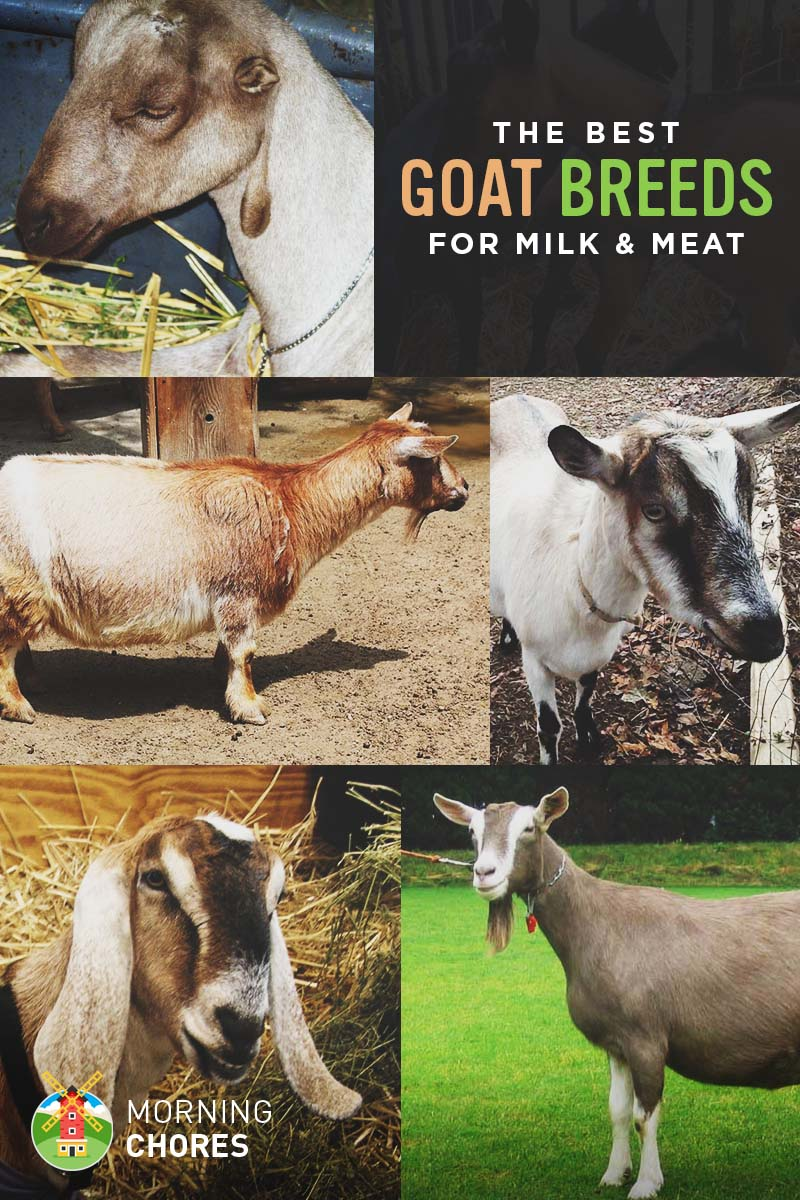 goat breeds for milk