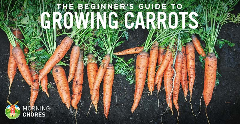 Growing Carrots: The Beginner'S Guide To Raising The Perfect Carrots