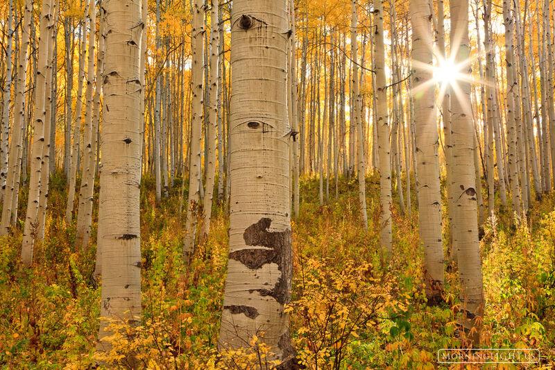 Birch Tree Fall Wallpaper Close Up Kebler First H Kebler Pass Colorado Morning Light
