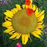 IMG_-sunfl-nasturtium