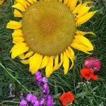 IMG_1419-sunflower-bright