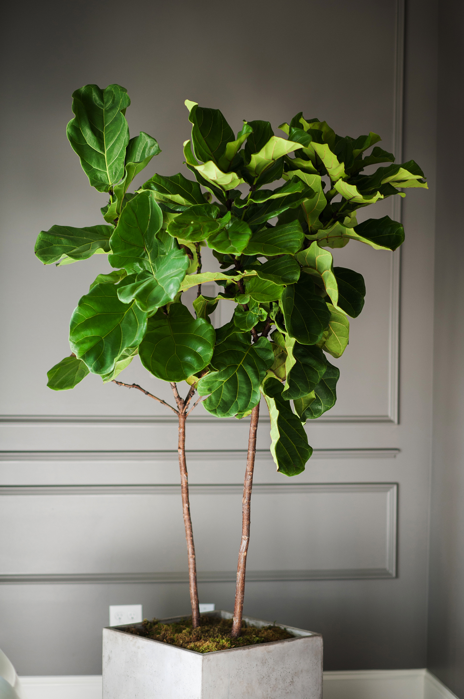 Fiddle Leaf Fig Tree Fiddle Leaf Fig Going Green Never Looked So Good Moss Manor