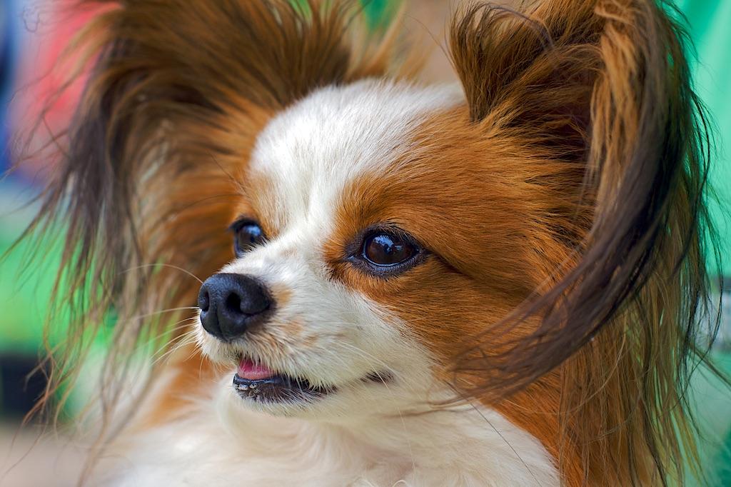 chippapillondog