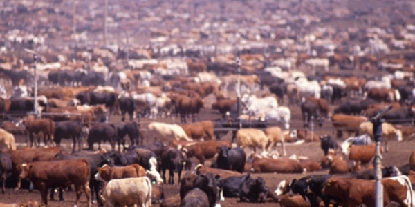 industrial cattle farming