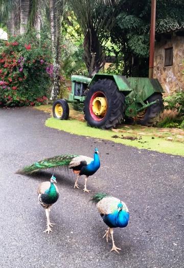 Pavos reales y un viejo tractor John Deere en la Hacienda Muñoz, en San Lorenzo.