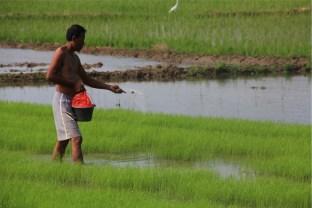 Karawang, masih dominan sebagai penghasil beras