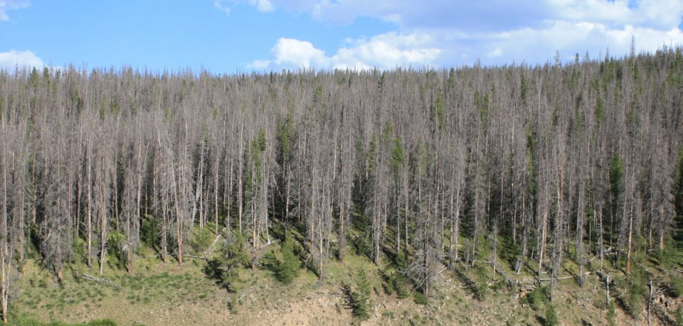 Bark Beetle Trees