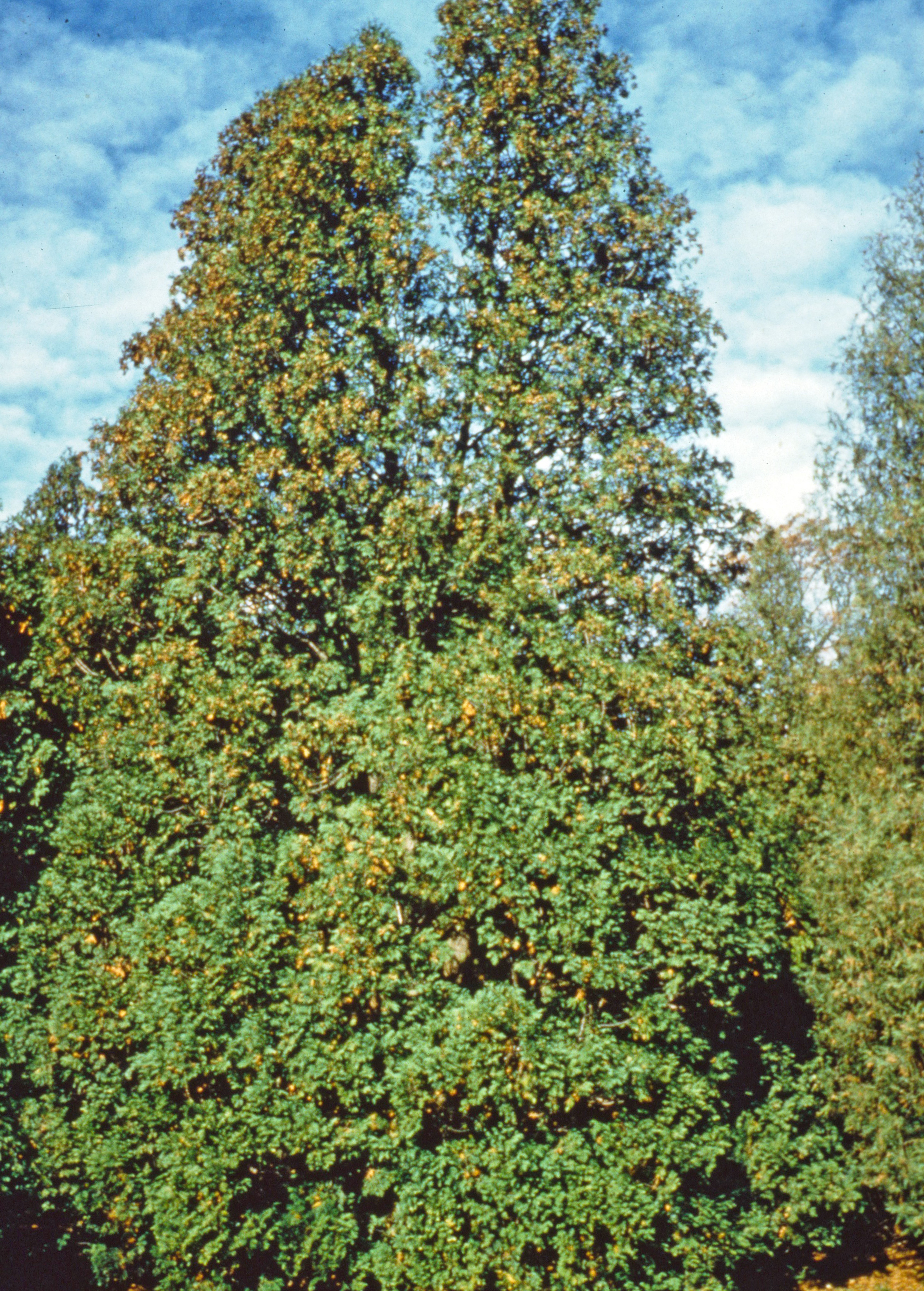 Thuja Rheingold Thuja Occidentalis